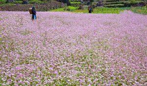 Hà Giang – Lễ Hội Hoa Tam Giác Mạch